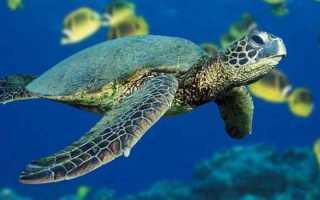 К чему снится черепаха женщине?