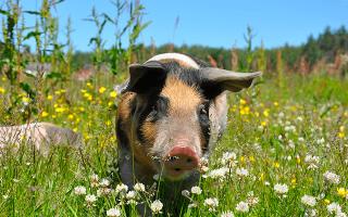 К чему снится свинья во сне?